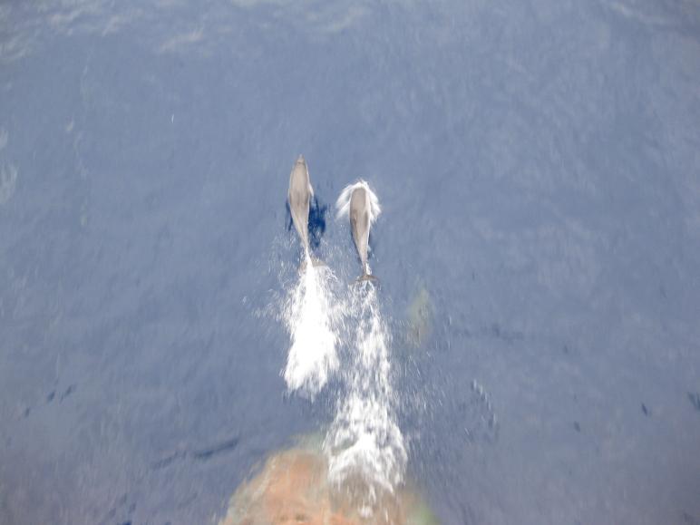 Delfines nadando justo a proa del Lola en una placida mañana de octubre.