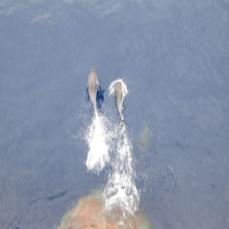 Delfines a pie de roda.